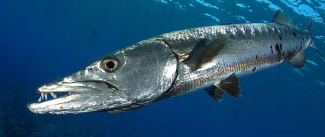 coastal-great-barracuda-710x300